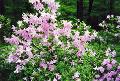 Madame Butterfly Azalea (Rhododendron 'Madame Butterfly') at Valley View Farms