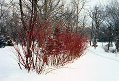 Tatarian Dogwood (Cornus alba) at Valley View Farms