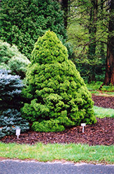 Dwarf Alberta Spruce (Picea glauca 'Conica') at Valley View Farms