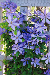 Mrs. Cholmondeley Clematis (Clematis 'Mrs. Cholmondeley') at Valley View Farms