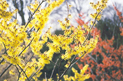 Arnold Promise Witchhazel (Hamamelis x intermedia 'Arnold Promise') at Valley View Farms