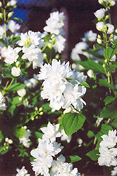 Buckley's Quill Mockorange (Philadelphus 'Buckley's Quill') at Valley View Farms