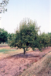 Bartlett Pear (Pyrus communis 'Bartlett') at Valley View Farms