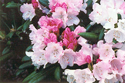 Crete Rhododendron (Rhododendron yakushimanum 'Crete') at Valley View Farms