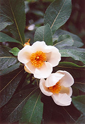 Franklinia (Franklinia alatamaha) at Valley View Farms