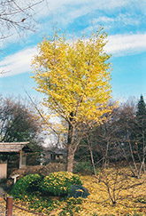 Ginkgo (Ginkgo biloba) at Valley View Farms