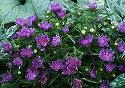 Purple Pixie Aster (Stokesia laevis 'Purple Pixie') at Valley View Farms