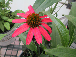 Glowing Dream™ Coneflower (Echinacea 'Glowing Dream') at Valley View Farms