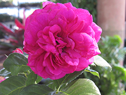 Celestial Night™ Rose (Rosa 'WEKebtigrad') at Valley View Farms