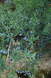 Grey Owl Redcedar (Juniperus virginiana 'Grey Owl') at Valley View Farms