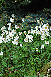 Windflower (Anemone sylvestris) at Valley View Farms