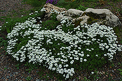 Candytuft (Iberis sempervirens) at Valley View Farms
