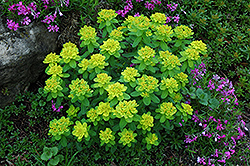 Cushion Spurge (Euphorbia polychroma) at Valley View Farms