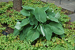 Blue Angel Hosta (Hosta 'Blue Angel') at Valley View Farms