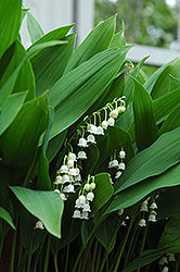 Lily-Of-The-Valley (Convallaria majalis) at Valley View Farms