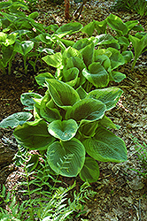 Frances Williams Hosta (Hosta 'Frances Williams') at Valley View Farms
