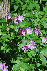 Spotted Cranesbill (Geranium maculatum) at Valley View Farms