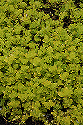 Golden Creeping Jenny (Lysimachia nummularia 'Aurea') at Valley View Farms