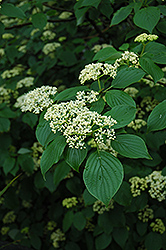 Pagoda Dogwood (Cornus alternifolia) at Valley View Farms