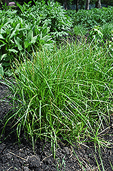 Palm Sedge (Carex muskingumensis) at Valley View Farms