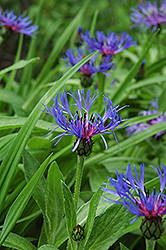Mountain Bluet (Centaurea montana) at Valley View Farms