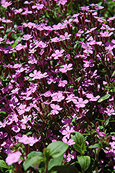 Rock Soapwort (Saponaria ocymoides) at Valley View Farms