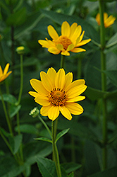 False Sunflower (Heliopsis helianthoides) at Valley View Farms