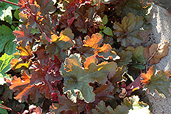 Chocolate Ruffles Coral Bells (Heuchera 'Chocolate Ruffles') at Valley View Farms