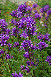 Clustered Bellflower (Campanula glomerata) at Valley View Farms