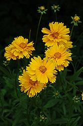 Early Sunrise Tickseed (Coreopsis 'Early Sunrise') at Valley View Farms