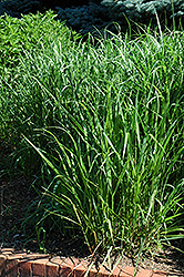 Switch Grass (Panicum virgatum) at Valley View Farms