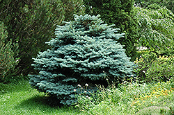 Globe Blue Spruce (Picea pungens 'Globosa') at Valley View Farms