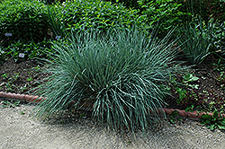 Blue Oat Grass (Helictotrichon sempervirens) at Valley View Farms
