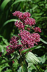 Swamp Milkweed (Asclepias incarnata) at Valley View Farms