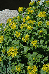 Russian Stonecrop (Sedum kamtschaticum) at Valley View Farms