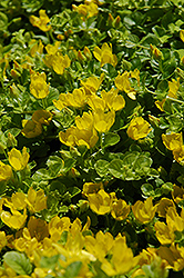 Creeping Jenny (Lysimachia nummularia) at Valley View Farms