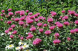 Marshall's Delight Beebalm (Monarda 'Marshall's Delight') at Valley View Farms
