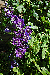 Belladonna Larkspur (Delphinium x belladonna) at Valley View Farms