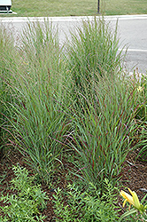 Shenandoah Reed Switch Grass (Panicum virgatum 'Shenandoah') at Valley View Farms