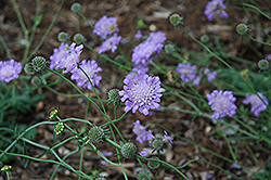 Butterfly Blue Pincushion Flower (Scabiosa 'Butterfly Blue') at Valley View Farms