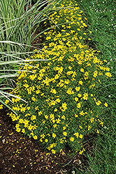 Zagreb Tickseed (Coreopsis verticillata 'Zagreb') at Valley View Farms