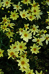 Creme Brulee Tickseed (Coreopsis 'Creme Brulee') at Valley View Farms