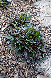 Chocolate Chip Bugleweed (Ajuga reptans 'Chocolate Chip') at Valley View Farms
