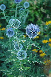 Globe Thistle (Echinops ritro) at Valley View Farms