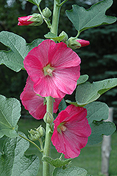 Hollyhock (Alcea rosea) at Valley View Farms