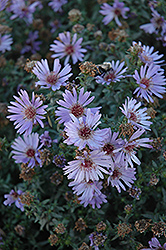Woods Blue Aster (Aster 'Woods Blue') at Valley View Farms