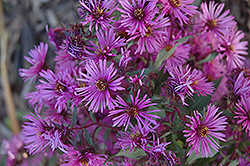 Woods Pink Aster (Aster 'Woods Pink') at Valley View Farms