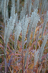 Flame Grass (Miscanthus sinensis 'Purpurascens') at Valley View Farms