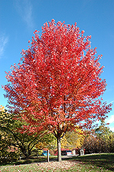 Autumn Blaze Maple (Acer x freemanii 'Jeffersred') at Valley View Farms