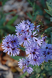Smooth Aster (Aster laevis) at Valley View Farms